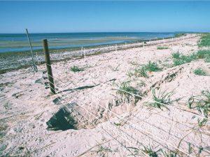 Grabspuren eines Dachses, der sich unter dem Elektrozaun auf der Insel Langenwerder im Juni 2002 durchgegraben hatte. Foto J.Kube