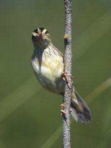 Futtertragendes Seggenrohrsänger-Weibchen in Nestnähe (in Belarus).Foto: F.Tanneberger