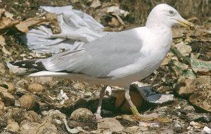 Silbermöwe Gelb CK20 (Helsinki HT 199650): Beringt als nicht flügger Jungvogel am 5. Juli 1997 in Vehkalahti/Finnland. Foto: V.Rauste