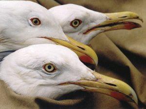 """Porträts von drei Brutvögeln des Snudy-Sees mit dem silbermöwentypischen """"Schlangenblick"""". Foto: N.Yakovets"""