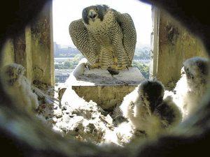 Wanderfalkenweibchen auf dem Anflugbrett, im Nistkasten sind drei Turmfalkennestlinge zu sehen (Alter ca. 12–16 Tage).