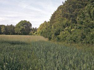 Ein typischer Ortolanlebensraum. Höhere Büsche und Bäume, die unmittelbar an Äcker (vorne Hafer, dahinter Winterroggen) angrenzen, dienen dem Männchen vornehmlich als Gesangsstandort. Foto: M.Deutsch