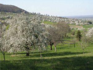 """""""Obstbaumsavanne"""" in der Gemarkung Bissingen mit altem Baumbestand."""