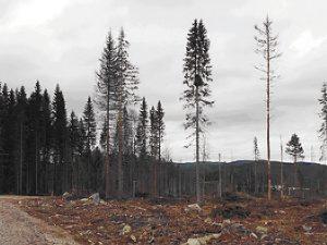 Horstbaum des Habichts in 80 m Entfernung zum ca. 70-jährigen Fichtenwald im Hintergrund. Foto: S Wolf