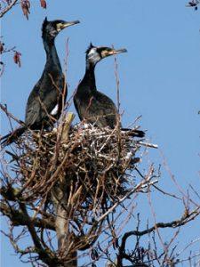 Kormorane am Nest. Foto: L.Wölfel