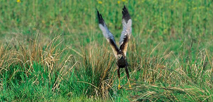 Rohrweihe, Männchen. Foto: P.Wernicke