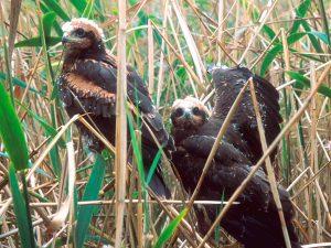 Junge Rohrweihen Foto: M.Lange