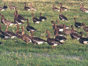Alle großen Gänsetrupps bestehen aus Familien, Paaren und nur wenigen Einzelvögeln. Foto: H.Kruckenberg