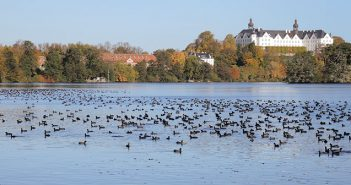 Blässhühner auf dem Großen Plöner See. Foto: B. Koop